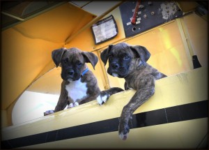 Smith Field Mascots Boxers Wilbur & Orville